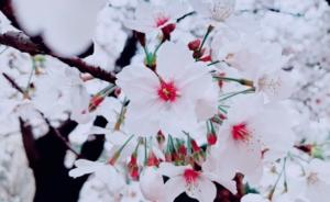 サロン近くに咲く桜1
