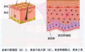 皮膚のイメージ